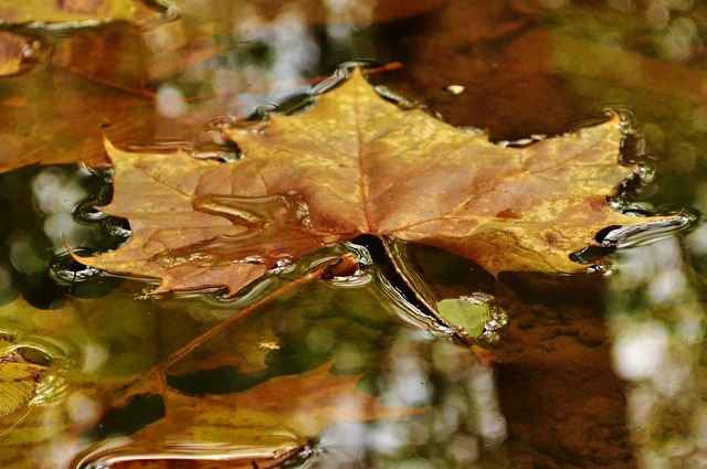 Fall Leaf on Water